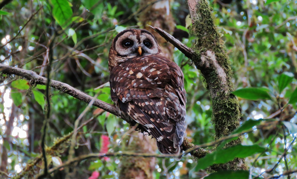 FULVOUS OWL (1)