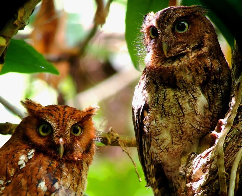 Guatemalan Screech Owl