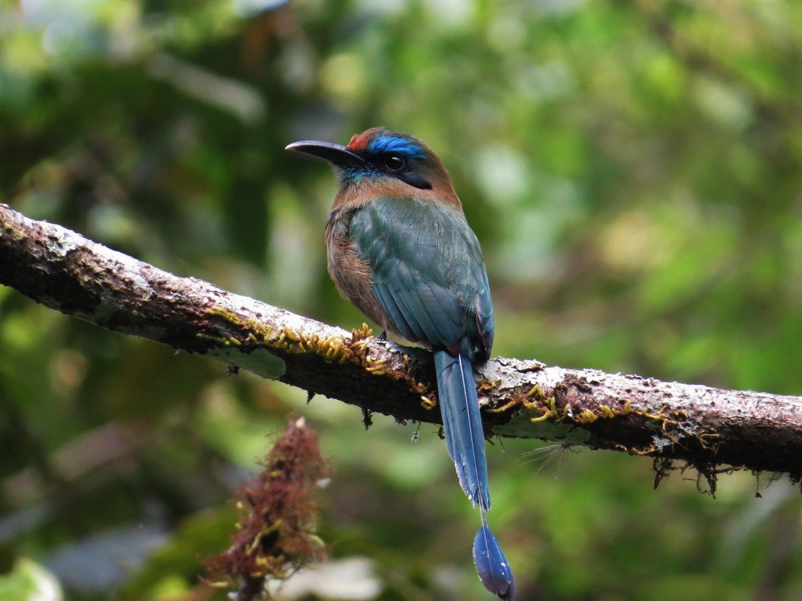 KEEL BILLED MOTMOT (6)