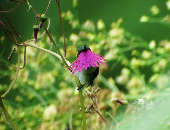 Wine throated Hummingbird