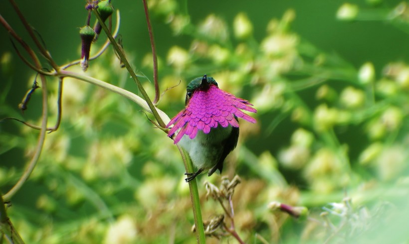 Wine throated Hummingbird